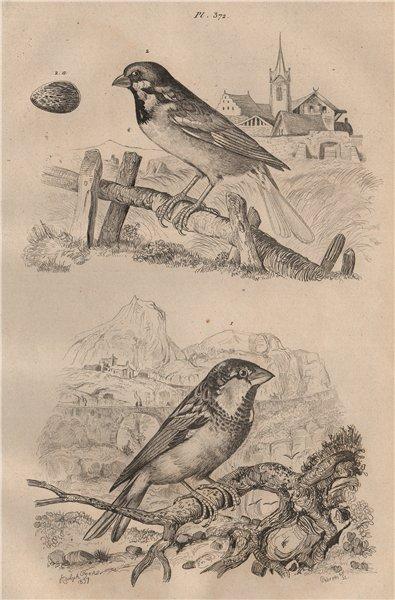 Associate Product Moineau Cisalpin (Italian sparrow). Moineau Friquet (Eurasian Tree Sparrow) 1834