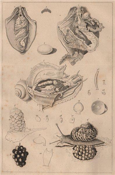 Associate Product MOLLUSCS. Mollusques. Anatomy I 1834 old antique vintage print picture