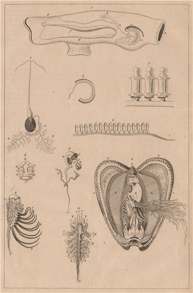 Associate Product MOLLUSCS. Mollusques. Anatomy II 1834 old antique vintage print picture