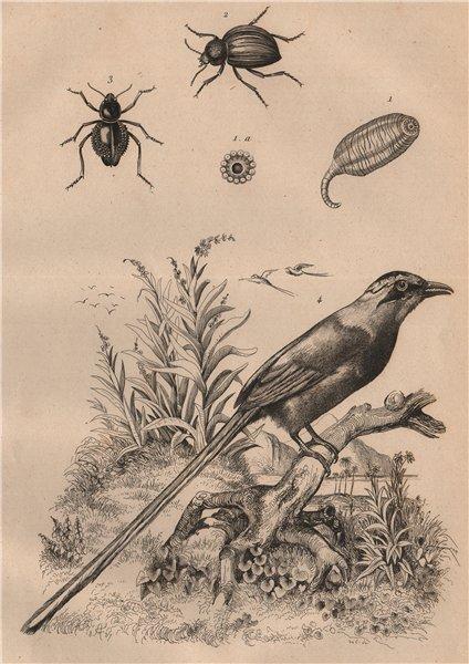 Molpadia. Moluris (Sepidum beetles). Momot (Blue-crowned/Andean motmot) 1834