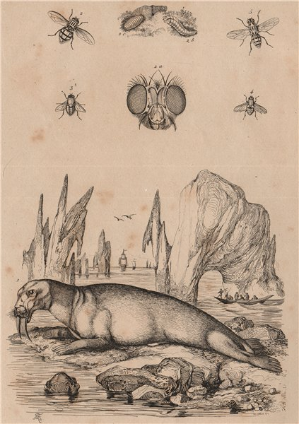 Associate Product MAMMALS. Morse (Walrus). Mouches (Flies) 1834 old antique print picture
