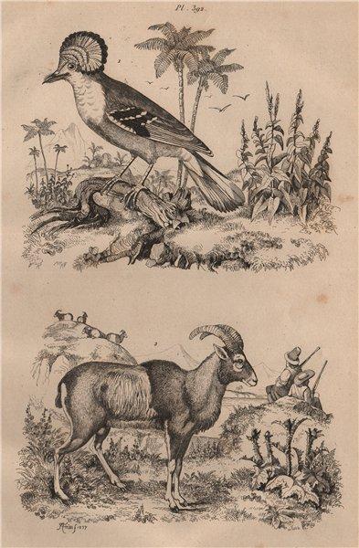 Associate Product Moucherolle Couronné (Crowned Flycatcher). Mouflon (wild sheep) 1834 old print