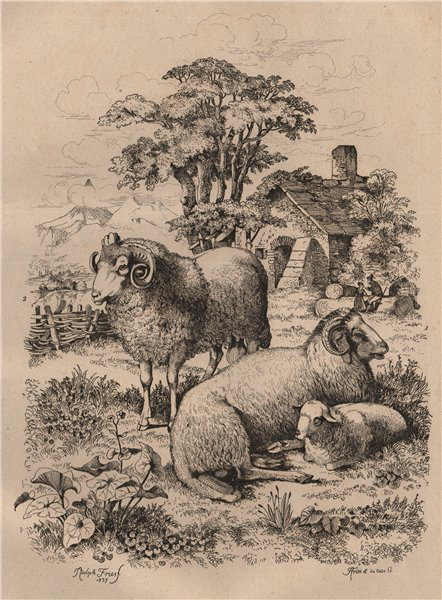 Associate Product SHEEP. Long tailed sheep. Merino. Mouton à grosse queue. Mouton Mérinos 1834