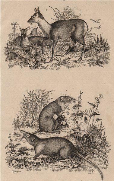 Associate Product Musaraigne. Greater white-toothed shrew. Grey shrew. Musc (Musk deer) 1834