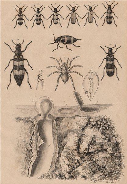 Associate Product Mygale pionière (Trapdoor spider) avec son nid (its nest). Mylabris beetles 1834