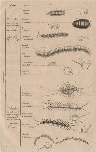 Associate Product MYRIAPODS. Orders. Arthropods. Classification. Myriapoda 1834 old print