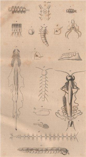 Associate Product MYRIAPODS ANATOMY. Myriapoda. Arthropods 1834 old antique print picture