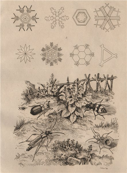 Ground, red-shouldered ham, burying & Long-horned beetles. Snowflakes 1834