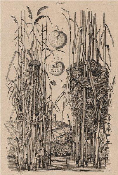 Associate Product WARBLER NESTS. Golden-headed Cisticola. Reed warbler. Sea Sparkle 1834 print