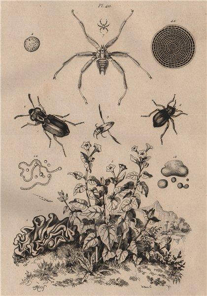 Associate Product Notiophilus.Backswimmer.Nyctage.Mirabilis nyctaginea.Nycteribiidae/bat fly 1834