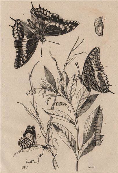 Associate Product BUTTERFLIES Two-tailed Pasha/Foxy Emperor. Cramer's Eighty-eight 1834 print