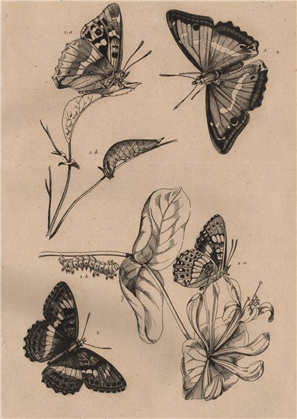 Associate Product BUTTERFLIES. Purple Emperor. Apatura Iris. Camille. Southern White Admiral 1834