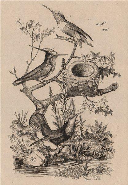 Associate Product HUMMINGBIRDS. Ruby-Topaz Ruby-Throated Delalande. Oiseau-Mouche 1834 old print