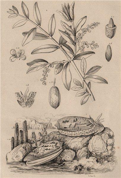 Associate Product FOOD. Olive de mer (Sea olive - Mollusc). Olivier (Olive tree) 1834 old print