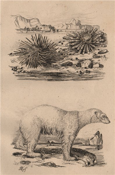 Associate Product BEARS. Ours Blanc (Polar Bear). Oursin (Sea Urchin) 1834 old antique print