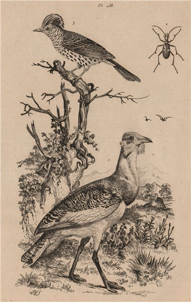 Associate Product BIRDS. Outarde (Bustard). Oxycheyle. Oxyrhynque (Sharpbill) 1834 old print