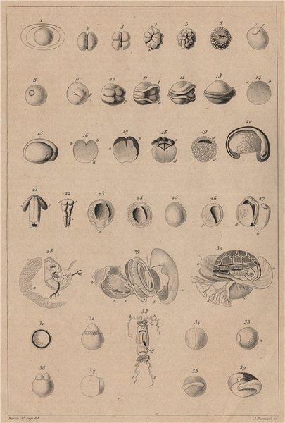Associate Product REPRODUCTIVE SYSTEM. Ovologie Ovology V. Eggs. 1834 old antique print picture