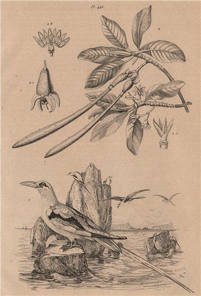 Paille queue (White-tailed Tropicbird). Palétuvier (Mangrove) 1834 old print
