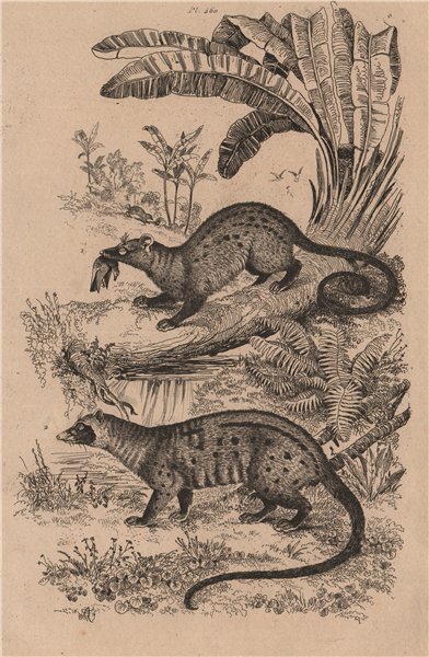 Associate Product MAMMALS. Paradoxures (Palm Civets) 1834 old antique vintage print picture