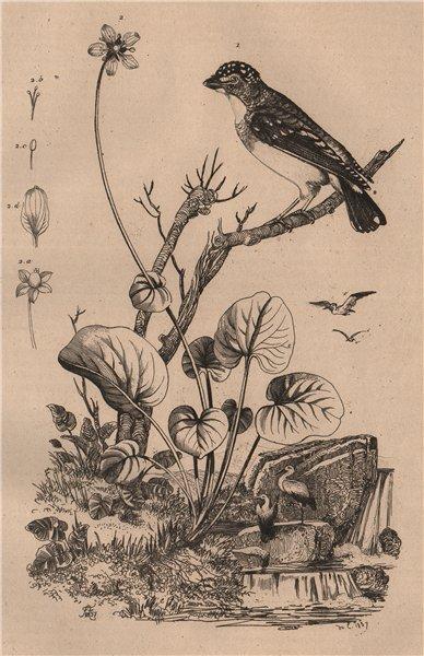 Associate Product BIRDS/FLOWERS. Pardalote (Peep-Wren). Parelle (Curly Dock) 1834 old print