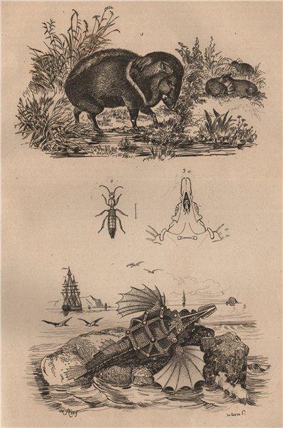 Associate Product ANIMALS. Pécari (Peccary). Pédère. Pégase (Short Dragonfish) 1834 old print