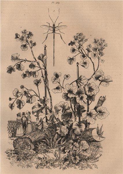 Associate Product PLANTS. Pélargonium (Geranium). Pelecinus polyturator wasp 1834 old print
