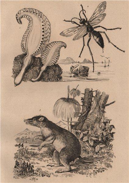 Associate Product Pennatula (sea pen). Pepsis (tarantula hawk). Péraméle (Bandicoot) 1834 print