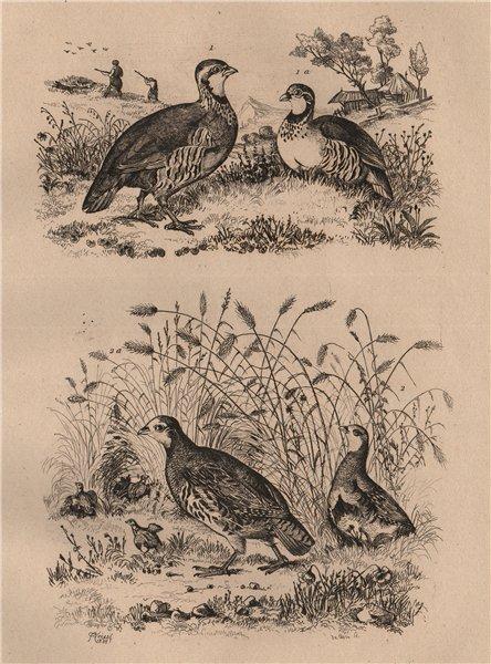 Associate Product Perdrix Rouge (Red-Legged Partridge). Perdrix Grise (Gray Partridge) 1834