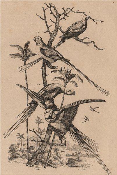 Associate Product PARAKEETS Perruches. Alexandrine Parakeet. Long-tailed Parakeet 1834 old print