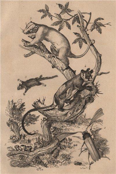 Associate Product Peziza; Phaenicocère; Phalangers 1834 old antique vintage print picture