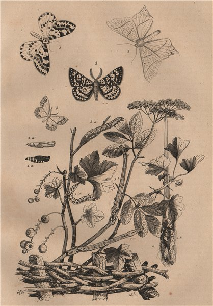 Associate Product GEOMETER MOTHS Magpie moth.Swallow-tailed Moth.Looper Moth.Lace Border moth 1834