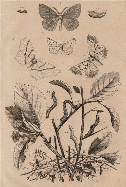 Associate Product GEOMETER MOTHS. Brimstone Pale Brindled Beauty Light Emerald 1834 old print