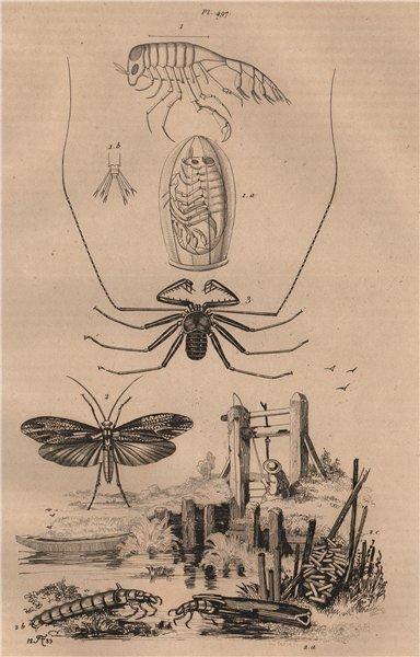Associate Product Phronime (Phronima). Phryganes (Caddisflies). Phryne (Whip Spider) 1834 print