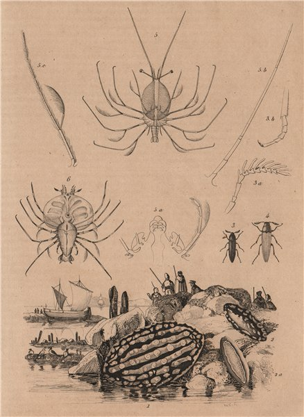 Associate Product SEA LIFE. Phyllidia (Nudibranch). Phyllocères. Phyllosoma (Lobster larva) 1834
