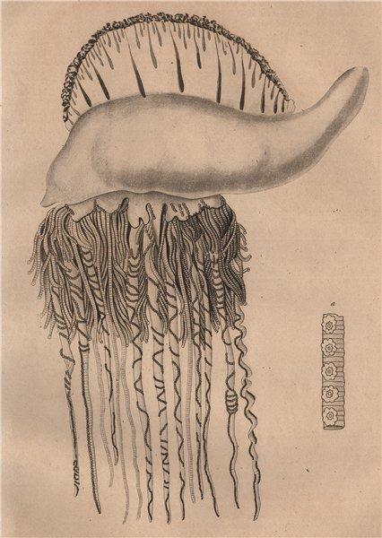 Associate Product FISH. Physalie Atlantique (Portuguese Man o'War) 1834 old print