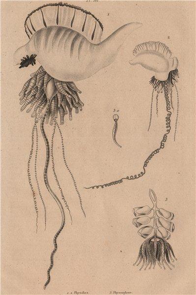 Associate Product FISH. Physalia (Man Of War). Physophora hydrostatica 1834 old antique print