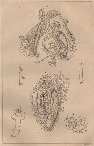 Associate Product MOLLUSC PHYSIOLOGY. Viscères Viscera digestive system. Mollusques Zoophytes 1834