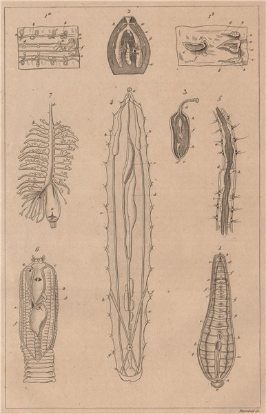 Associate Product PHYSIOLOGY. Viscères (Viscera) des animaux articulés. Articulated animals 1834