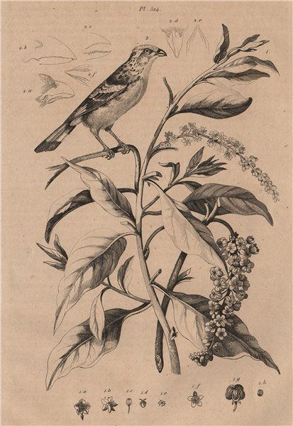 Associate Product PLANTS. Phytolaque (Pokeweed). Phytotoma (Rufous-tailed Plantcutter) 1834