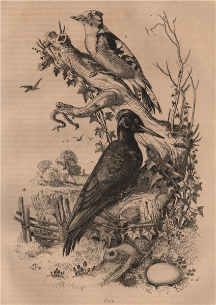 Associate Product Pic Noir/Epeiche moyenne. Black & juvenile Great Spotted Woodpeckers 1834