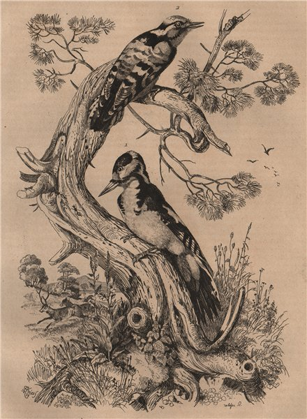 Associate Product Pic grande Epeiche/Epeichette. Great & lesser spotted woodpeckers 1834 print