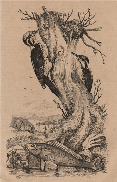 Associate Product Pic Tridactyle (Eurasian Three-Toed Woodpecker). Picarel fish 1834 old print