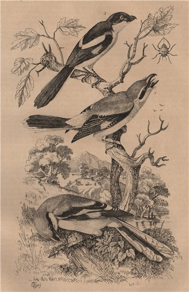 Associate Product Common Magpie. Pie Grièche septentrionale. Grey-backed Fiscal. Shrikes 1834