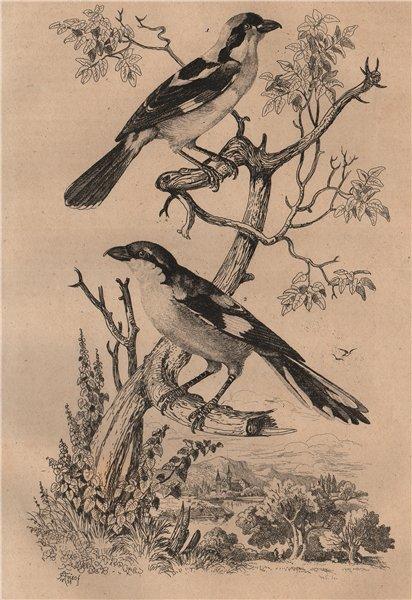 Pie-Grièche à tête rousse/méridionale (Southern Grey & woodchat shrikes) 1834