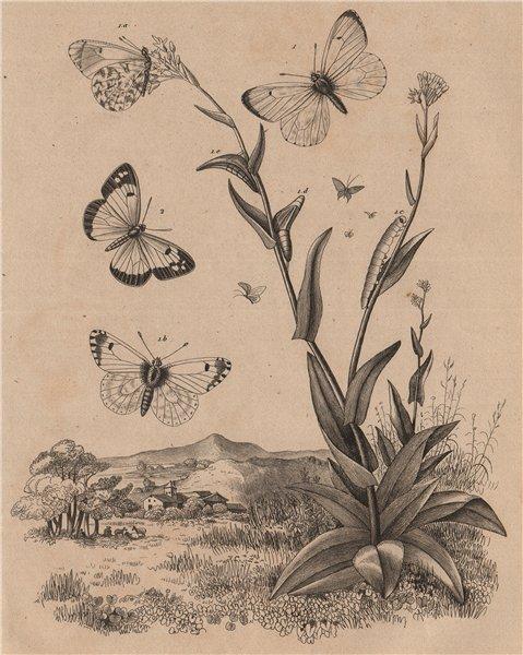 Associate Product PIERIDAE BUTTERFLIES Orange Tip. Blue-Spotted Arab (Colotis phisadia) 1834