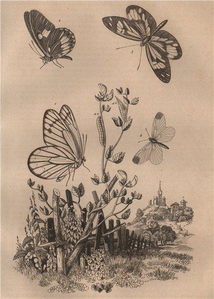 Associate Product PIERIDAE BUTTERFLIES Pièride antonoe Euterpe tereas Leptalis amphione 1834