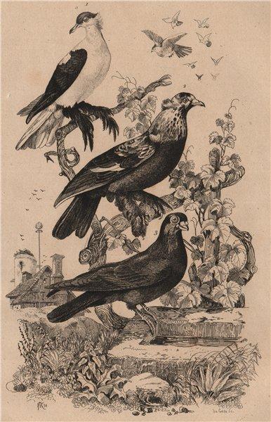 Associate Product PIGEONS. Swallow pigeon. Glouglou tambour. Polonais ordinaire. Polish 1834