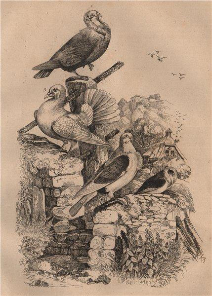 Associate Product Pigeons. Cravatte français. Nonain capucin. Trembleur Paon (Fantail) 1834