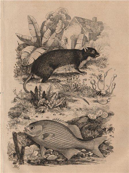 Associate Product Pilobole (Muskrat). Pilori. Piméleptére (Kyphosus. Sea Chub) 1834 old print