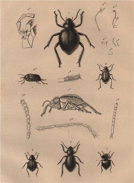 Associate Product INSECTS. Pimélies (Pimelia - Darkling beetles) 1834 old antique print picture
